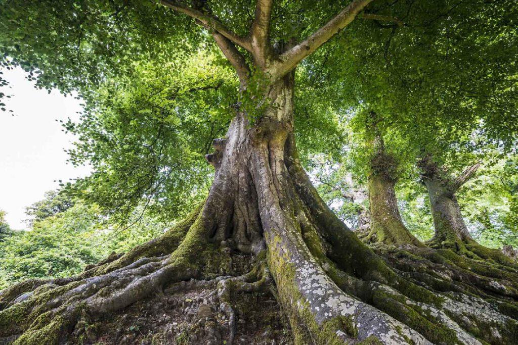 Ein alter großer Baum als Symbol für Focusing mit Monika Timme.